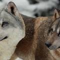 mrZ-wolf00