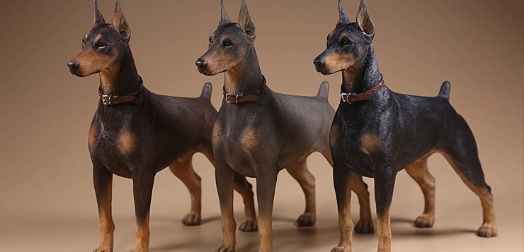 Mr Z Dobermann Dogs
