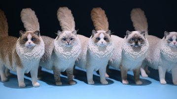 mrz-cat-ragdoll00