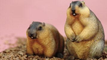 Mr-Z--marmota00